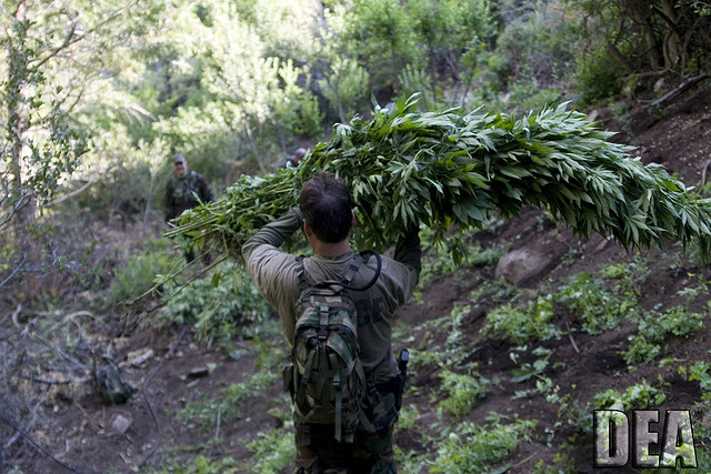 Man carries large cuts of cannabis plants in a state that may legalize.