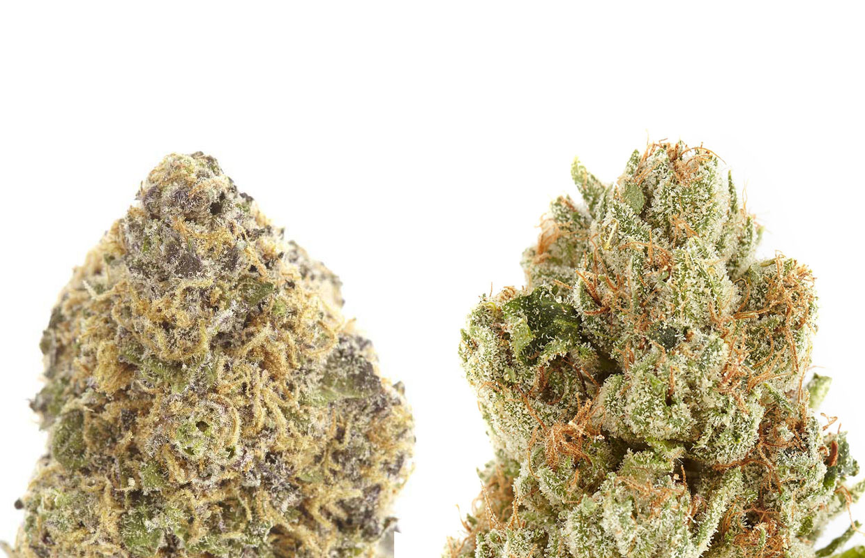 The difference between indica and sativa: Ken's Grand Daddy Purp and Headband | Cannabis Now Magazine