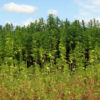 A field of beautiful Kentucky hemp under a big blue sky.