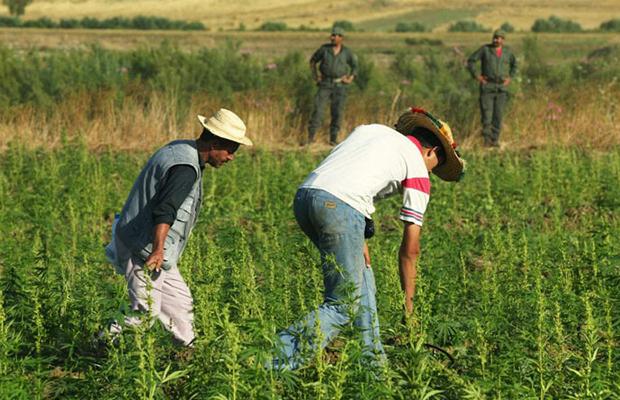Farmers harvest in Morocco where marijuana may soon be decriminalized.