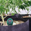 A meter is inserted into a pot containing a cannabis plant in a federal pot farm.