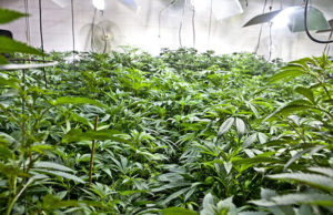 Cannabis Plants in a Grow Room Cultivated with the Best Tools in an Arsenal