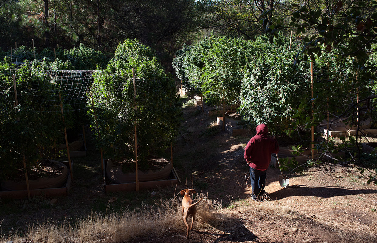How To Battle Animal & Mold Infestations in Outdoor Cannabis Grows