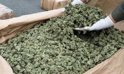Hands Shovel Through Marijuana Grown in Uruguay