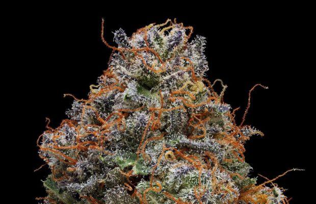 Strain Review Blackberry Kush Cannabis Now