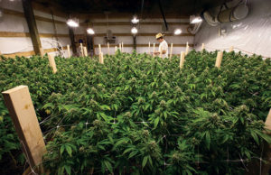 TKO Room As the Grass Grows Cannabis Now Magazine