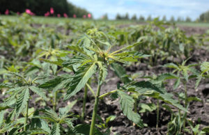 Hemp Cannabis Now