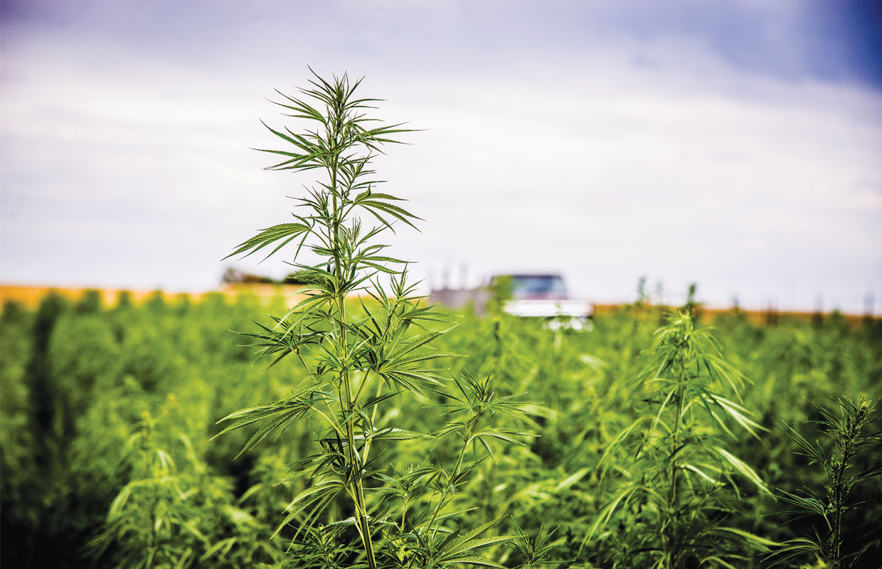 A hemp plant reaches for the sun among a field of industrial hemp at a farm in Kentucky.