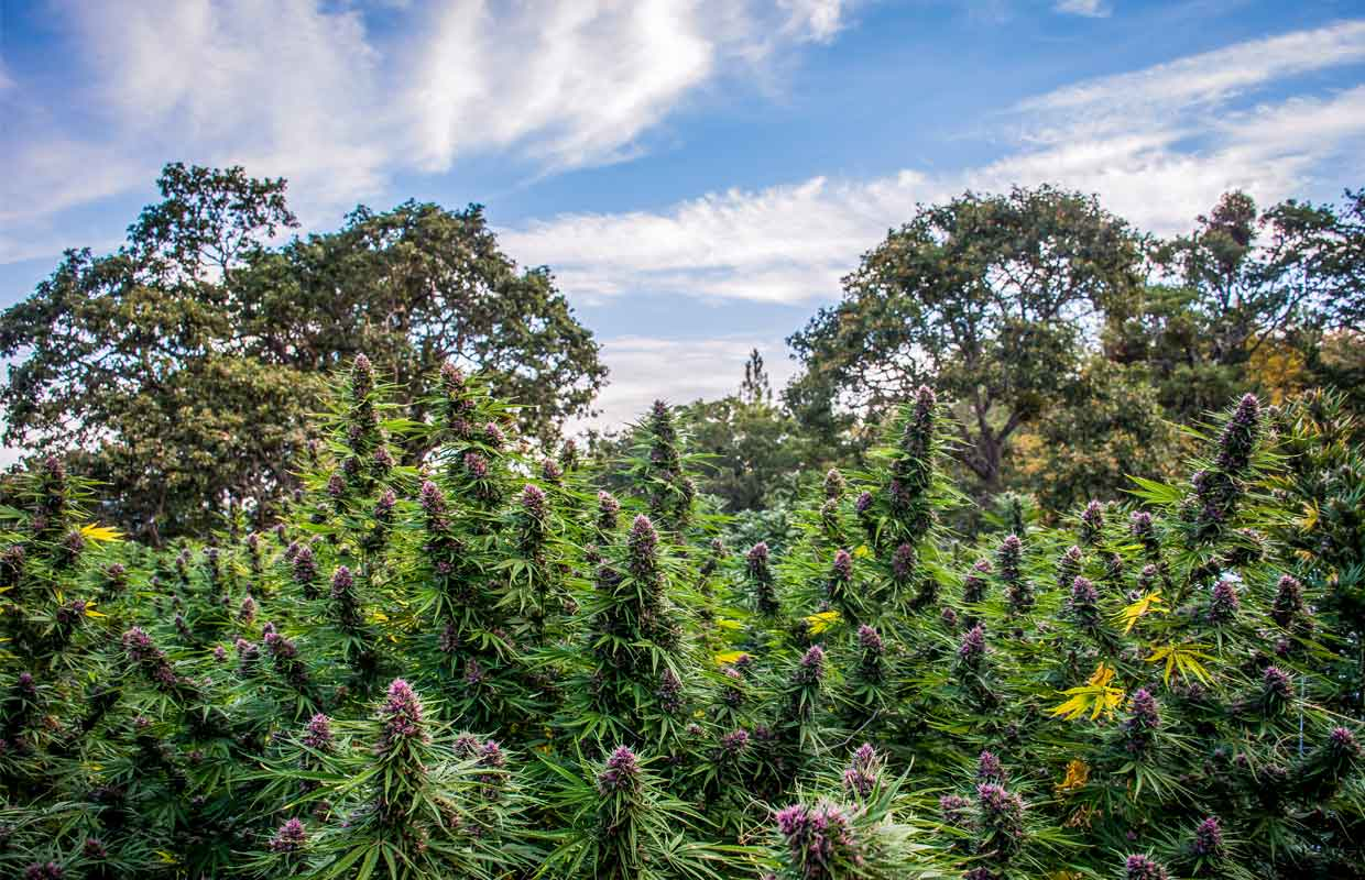 A field of brightly colored Pinkleberry cannabis plants blend in seemlessly with the trees of Oregon.