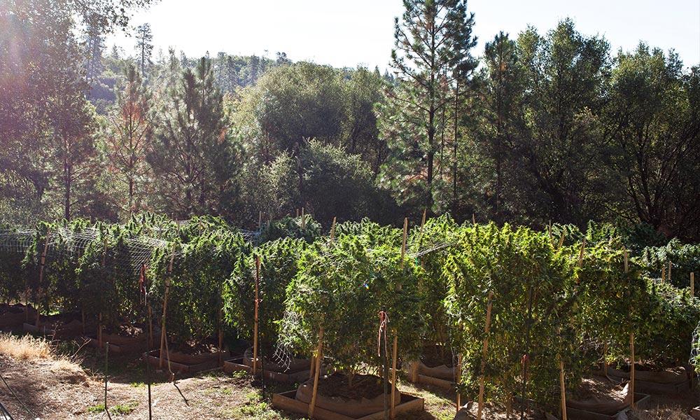 California's Cannabis Market