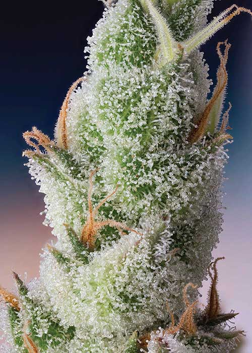 Foxtail Cannabis Macrophotography Cannabis Now Shwale