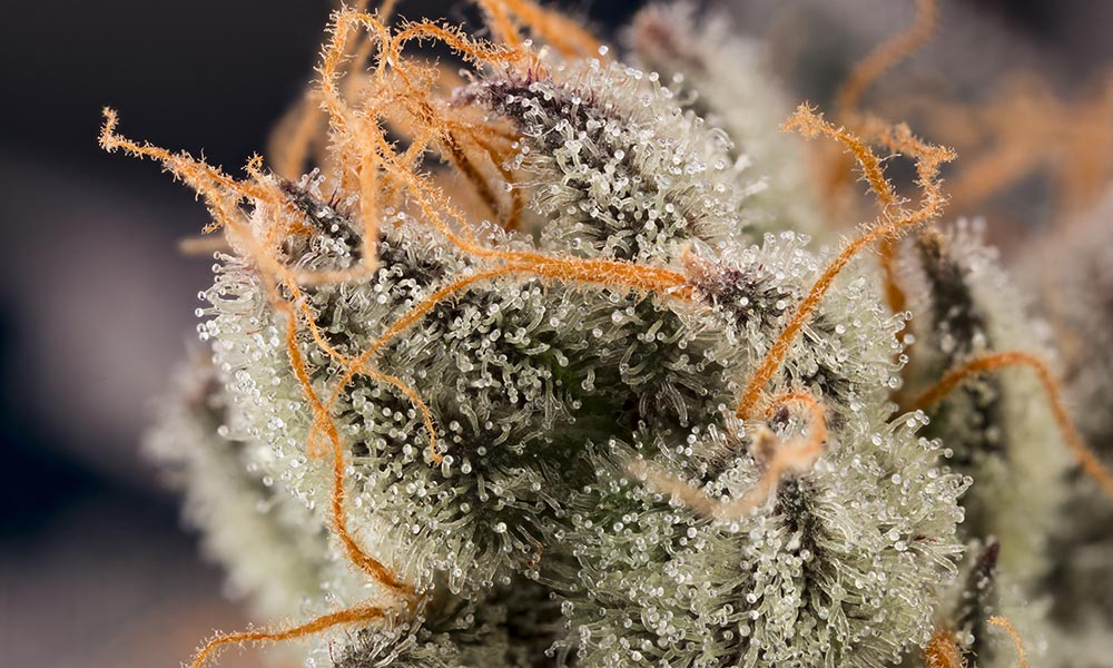 Macro Photography Marijuana Bud Cannabis Now Shwale