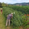 Alter Farms Oregon Marijuana Farming Cannabis Now