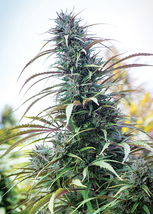 The Rise of CBD Strains | Cannabis Now