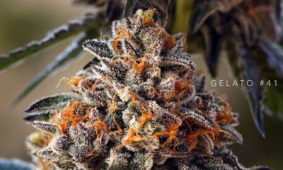 Gelato 41 Best Cannabis California 2018 Cannabis Now