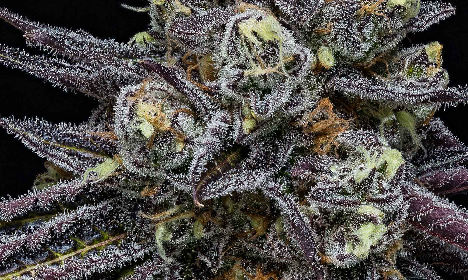 Strain Review: Mendo Breath is a Taste of the Emerald Triangle