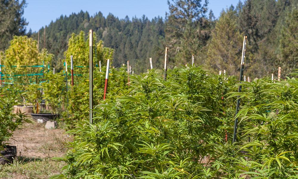 California to Send National Guard to Raid Pot Farms