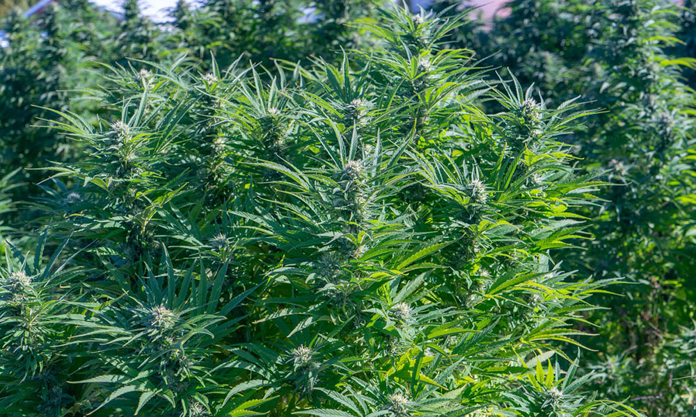 Golden Goat Outdoor Morning Strains  Energizing Cannabis Strains