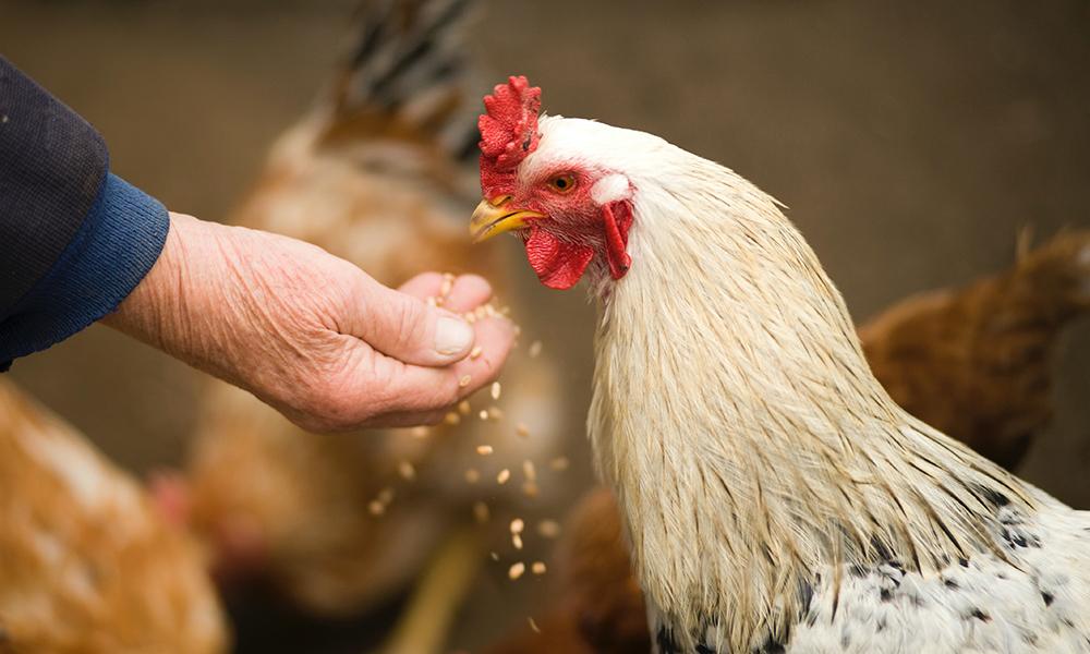 hemp fed meat chickens